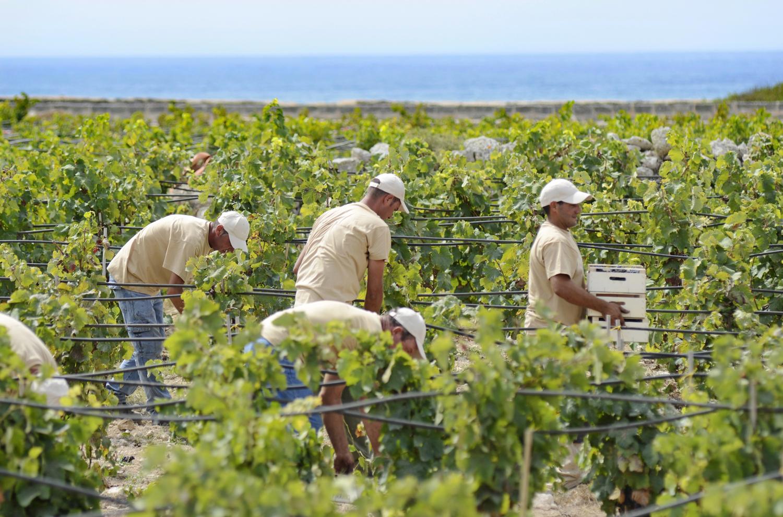 Prima vendemmia a Favignana: la viticultura del mare e il Progetto Insulae