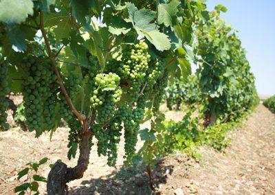 vigne-piede-franco