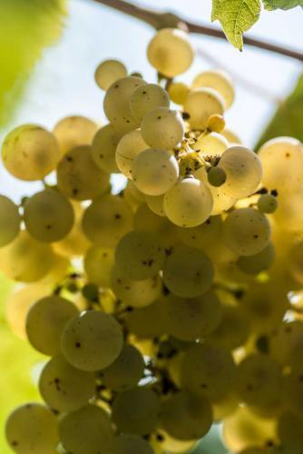 Pinot grigio_grappolo