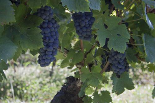 Uva Groppello -Valtenesi (Lombardia)