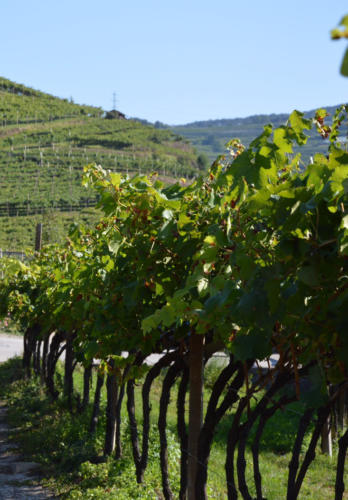 Vigneti Giovo (TN) (Trentino)