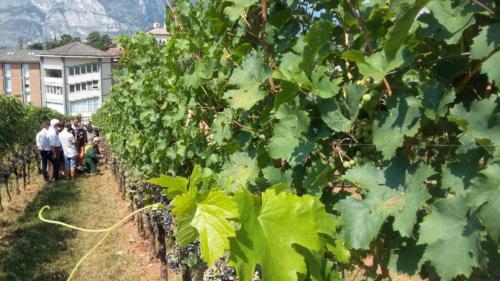 Viticoltura bio vigneto Weizacher (Trentino)_1