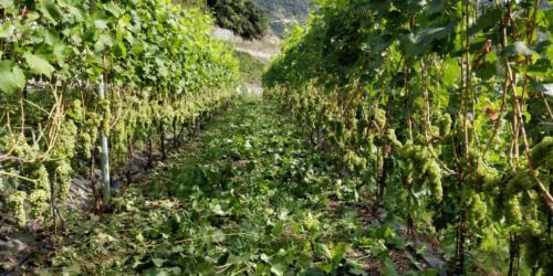 Vigne2_Legrain_Saint-Pierre (AO)(Valle d'Aosta)