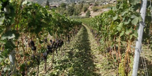 Vigne1_Legrain_Saint-Pierre (AO)(Valle d'Aosta)